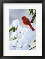Framed Cardinal On Snow