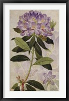 Framed Rhododendron II