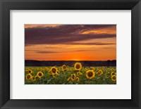 Framed Sunset over Sunflowers