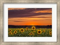 Framed Sunset over Sunflowers