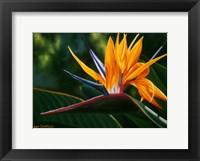 Framed Hawaiian Bird