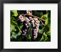 Framed On the Vine