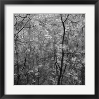 Framed Pine Bramble