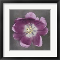 Framed Purple Tulip