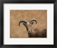 Framed Barbary Ram