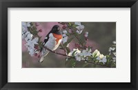 Framed Rose Breasted Grosbeak and Apple Blossoms