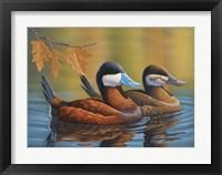Framed Stiff Tails Ruddy Ducks