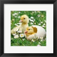 Framed Easter Chicks 1