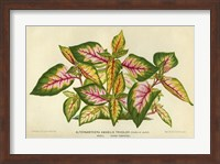 Framed Alternanthera Amabilis Tricolor