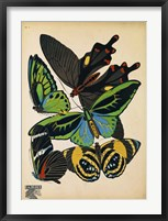 Framed Butterflies Plate 1