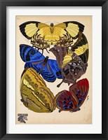 Framed Butterflies Plate 12