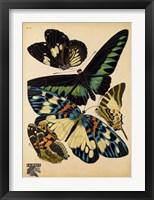 Framed Butterflies Plate 16