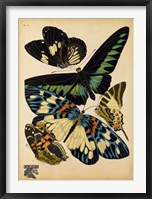 Framed Butterflies Plate 16