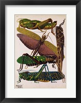 Framed Insects, Plate 16