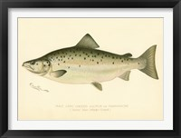 Framed Male Land Locked Salmon