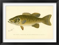 Framed Small Mouthed Black Bass