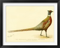 Framed Mongolian or Ring-Necked Pheasant