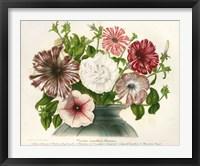 Framed Varietes Nouvelles de Petunias