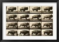 Framed Buffalo Running, Animal Locomotion Plate 700