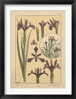 Plate 01 - Iris Framed Print