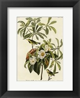 Framed Bachmans Warbler