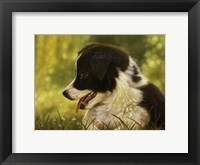Framed Border Collie Pup 2