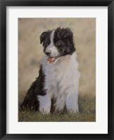 Framed Border Collie 12