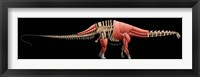 Framed Apatosaurus Skeleton