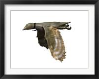 Framed Iberomesornis Romerali