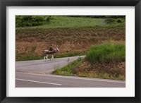 Framed Old man rides a donkey loaded with wood, Anguiano, La Rioja, Spain