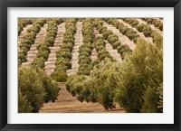 Framed Olive Groves, Jaen, Spain