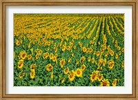 Framed Spain, Andalusia, Cadiz Province Sunflower Fields