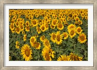 Framed Spain, Andalusia, Cadiz Province Sunflower Fields