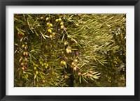 Framed Spain, Jaen Province, Jaen-area, Olive Trees