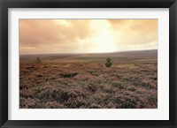 Framed Heather, near Danby, North York Moors, England