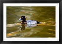 Framed UK, Tufted Duck on pond reflecting Fall colors