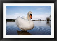 Framed Mute Swan (Cygnus olor) on flooded field, England