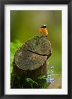 Framed Redstart bird, Forest of Dean, Gloucestershire, UK