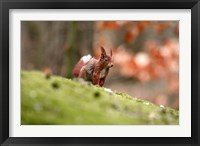 Framed UK, England Red Squirrel