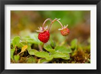 Framed UK, England, Strawberry fruit, garden