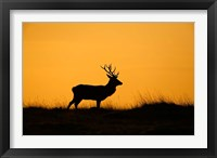 Framed UK, Red Deer stag at dawn