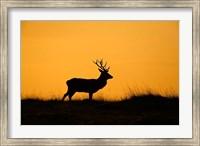 Framed UK, Red Deer stag at dawn