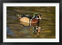 Framed USA Carolina or Wood Duck, reflected in a Pond