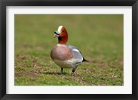 Framed Wigeon bird walking on grass England, UK
