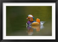 Framed Wild Mandarin Duck, green lake, UK