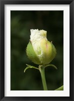 Framed Californian tree poppy flower ready to bloom