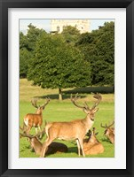 Framed English red deer stags, Nottingham, England