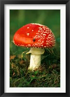 Framed UK, Fly Agaric mushroom fungi
