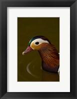 Framed Mandarin Duck, England