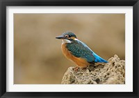Framed Common Kingfisher bird, Cliff, Cyprus